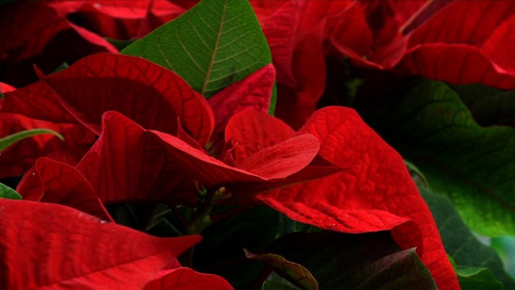 Cómo cuidar de Poinsettia o planta de Navidad Poinsettia_Condis-1024x576