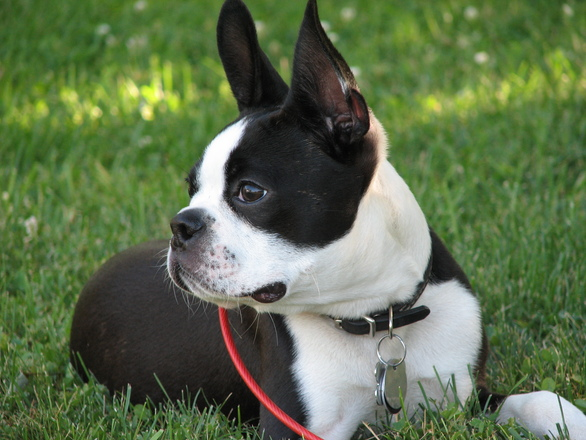boston-terrier-pup-1393845