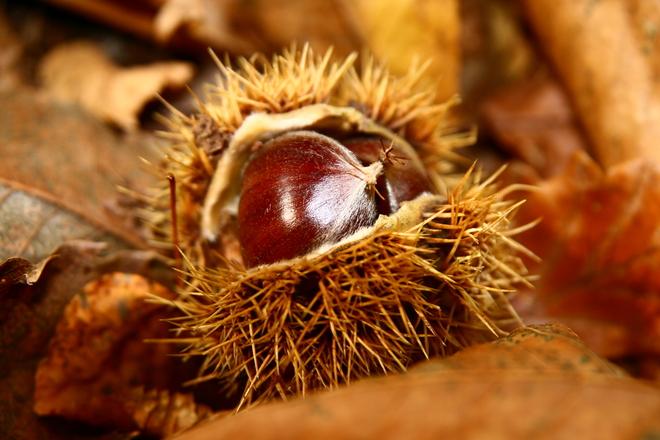 chestnut-1361644