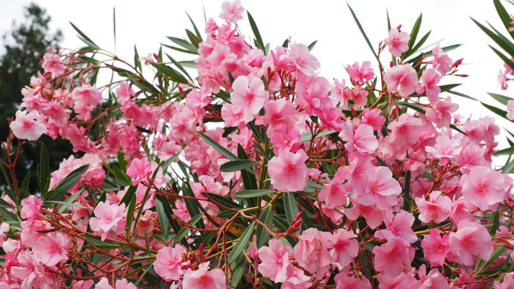 adelfa laurel rosa