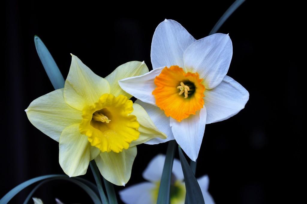 daffodil-1318247_1920