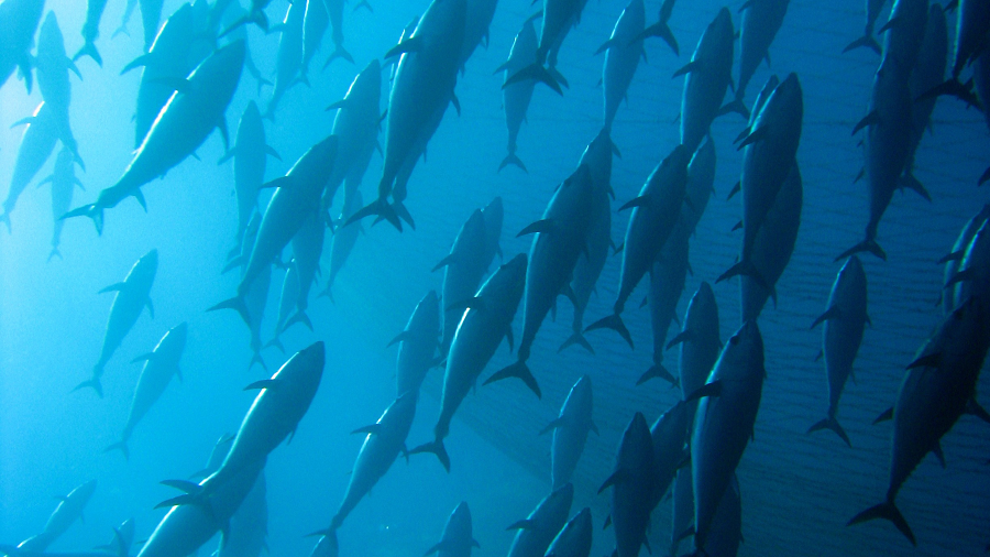 Aprovecha la temporada del atún
